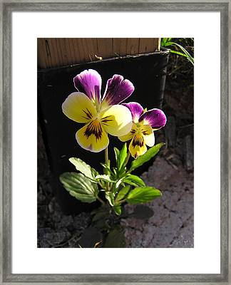 Pansy Out Of Cement Framed Print by Richard Mitchell