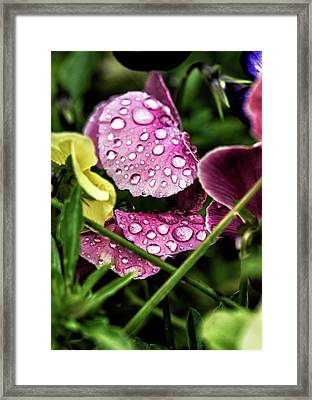 Pansys In The Rain Framed Print