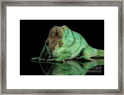 Parson Chameleon, Calumma Parsoni Orange Eye On Black Framed Print by Sergey Taran