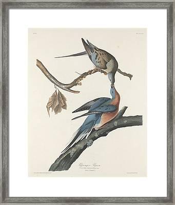 Passenger Pigeon Framed Print by Anton Oreshkin