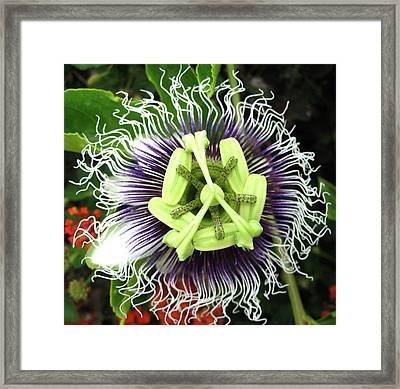 Framed Print featuring the photograph Passion Flower by Mary Ellen Frazee