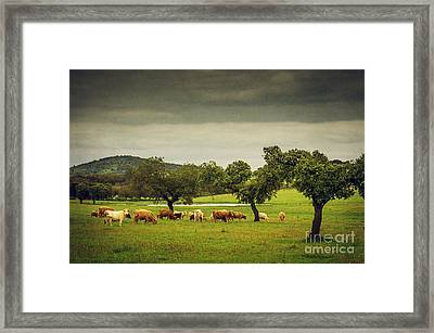 Pasturing Cows Framed Print by Carlos Caetano