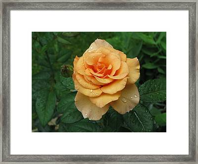 Framed Print featuring the photograph Peace Rose by Erik Falkensteen