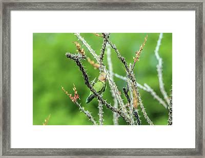 Peach-faced Love Bird Framed Print by Tam Ryan