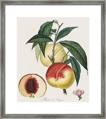Peaches Framed Print by Pierre Antoine Poiteau