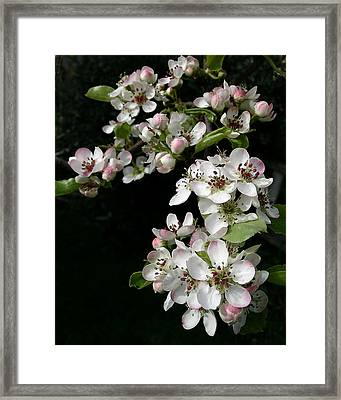 Pear Blossoms Framed Print by Wilbur Young