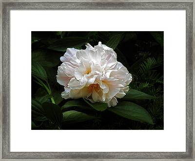 Peony Petals Framed Print by Jessica Jenney