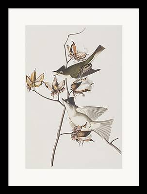Flycatcher Paintings Framed Prints