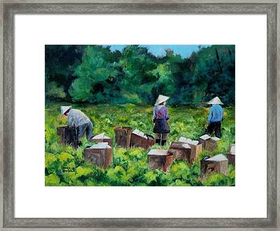 Picking Romaine Framed Print by Susan Bartolacci