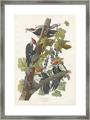 Pileated Woodpecker Framed Print by John James Audubon