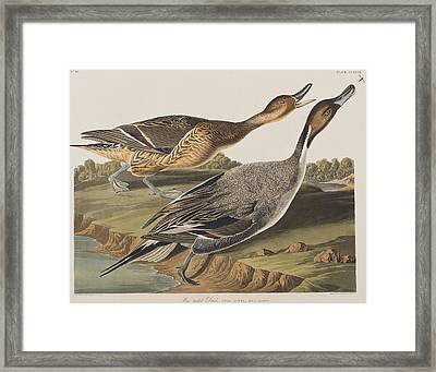 Pin-tailed Duck Framed Print