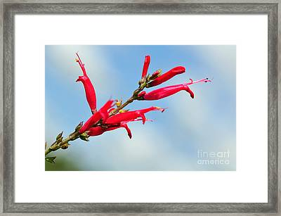 Pineapple Sage Framed Print