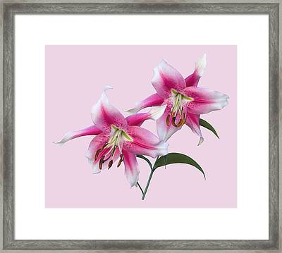Pink And White Ot Lilies Framed Print by Jane McIlroy