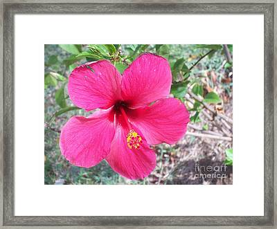 Pink Hibiscus Beauty Framed Print