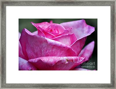 Pink Rose Framed Print by Clayton Bruster