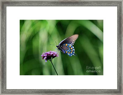 Pipevine Swallowtail Butterfly 2011 Framed Print