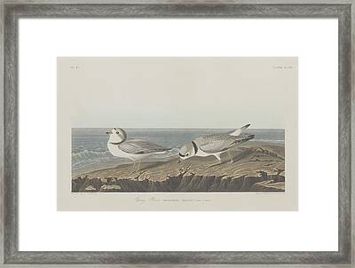 Piping Plover Framed Print by Rob Dreyer