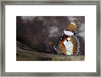Plain Tiger Butterfly Framed Print by JT Lewis