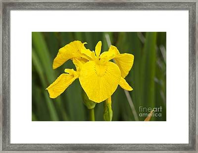 Plant Wild Flower Yellow Flag  Iris Pseudacorus Framed Print by Hugh McKean