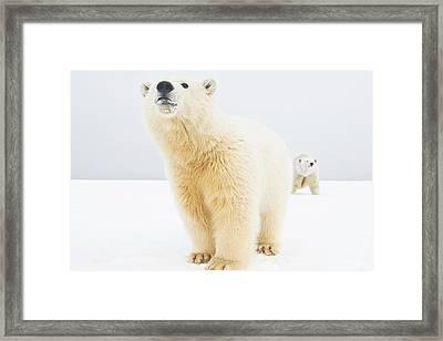 Polar Bear  Ursus Maritimus , Curious Framed Print by Steven Kazlowski