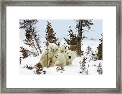 Polar Bear Ursus Maritimus Trio Framed Print