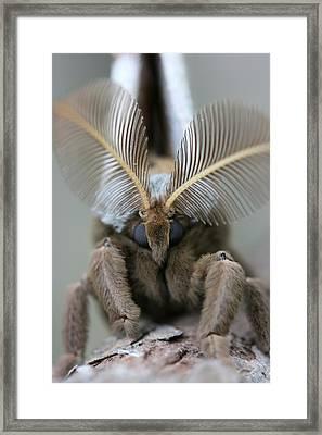 Polyphemus Moth Framed Print by Betsy LaMere