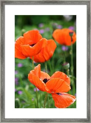 Poppies Framed Print by Melanie Beasley