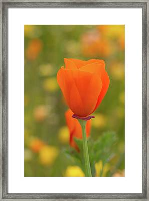 Framed Print featuring the photograph Poppy by Roger Mullenhour