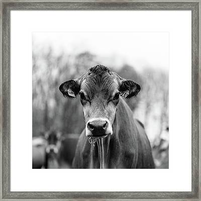 Portrait Of A Dairy Cow In The Rain Stowe Vermont Framed Print