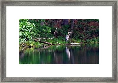 Posing Great Blue Heron  Framed Print