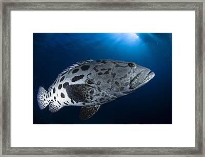 Potato Grouper, Australia Framed Print by Todd Winner