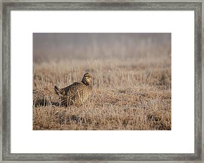 Prairie Chicken 8-2015 Framed Print by Thomas Young