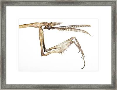 Praying Mantis Head And Forelegs Framed Print by Lawrence Lawry