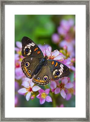 Happy Little Butterfly  Framed Print