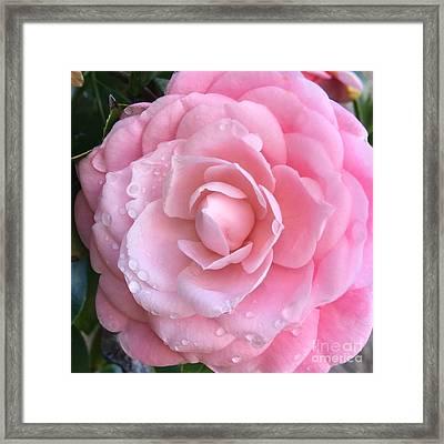 Pretty Pink Camellia Framed Print