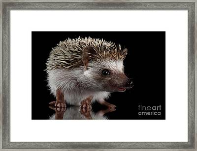Prickly Hedgehog Isolated On Black Background Framed Print by Sergey Taran