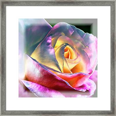 Princess Diana Rose Framed Print by David Patterson