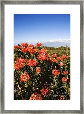 Protea Blossoms Framed Print by Ron Dahlquist - Printscapes