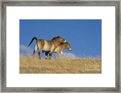 Przewalski Mare And Foal Framed Print by Jean-Louis Klein & Marie-Luce Hubert