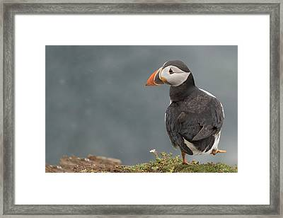 Puffin Framed Print by Ian Hufton