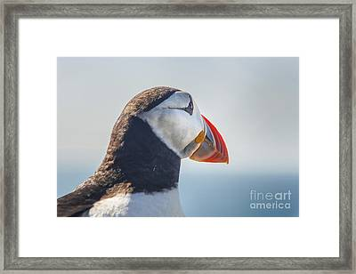 Puffin In Close Up Framed Print by Patricia Hofmeester