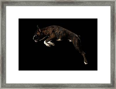 Purebred Boxer Dog Isolated On Black Background Framed Print by Sergey Taran