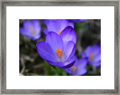 Purple Crocuses - 2015 Framed Print
