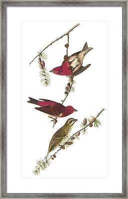 Purple Finch Framed Print by John James Audubon