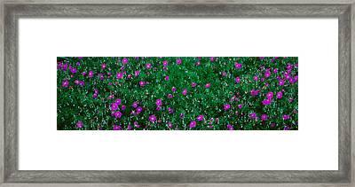 Purple Flowers, Taft Gardens, Ojai Framed Print by Panoramic Images