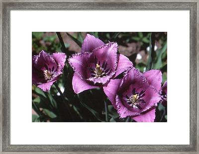 Purple Flowers Two  Framed Print by Lyle Crump