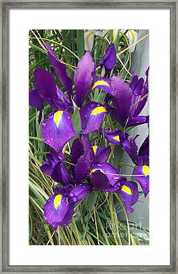 Purple Iris Framed Print by Gail Salitui