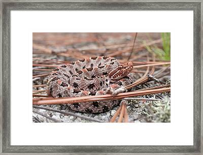 Pygmy Rattlesnake Framed Print by Derek Thornton