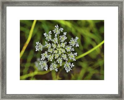 Queen Anne Lace Framed Print by JAMART Photography