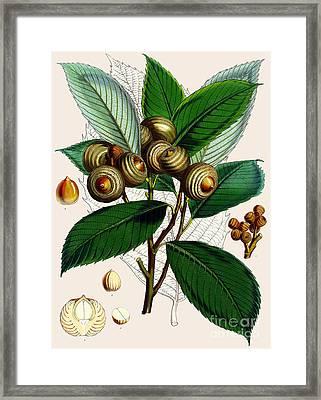 Quercus Lamellosa Framed Print by Joseph Dalton Hooker